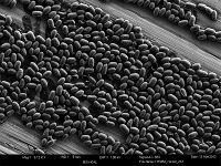 Bacterial Spores in a single layer on stainless steel