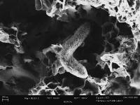 Sulfate Reducing Microbe